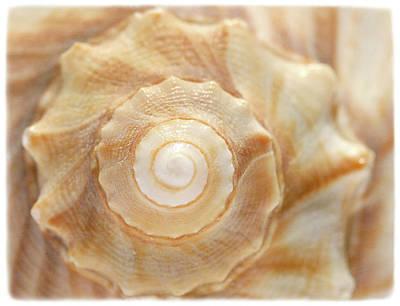 Photograph - Lightning Whelk by Cindi Ressler