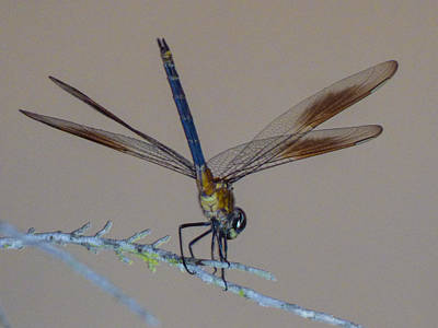 Photograph - Lights On Dragonfly by Kimo Fernandez
