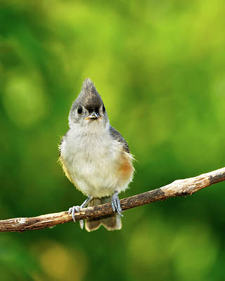 Tufted Titmouse Photograph - Liking My Style by Betty LaRue