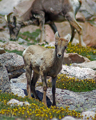 Photograph - Lil' Bighorn by Kevin Munro