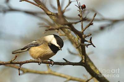 Photograph - Lil Black-capped Chickadee by Sharon Talson