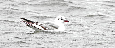 Photograph - Lil Black-headed Gull by Debbie Parker