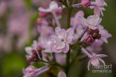 Photograph - Lilac 1 by Julie Clements