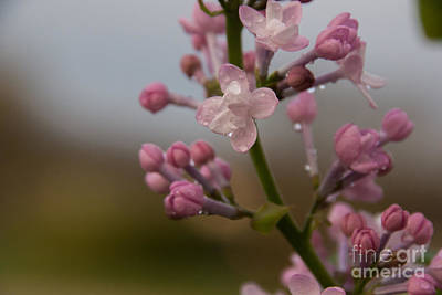 Photograph - Lilac 2 by Julie Clements