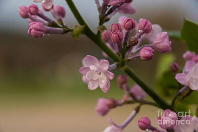 Photograph - Lilac 3 by Julie Clements