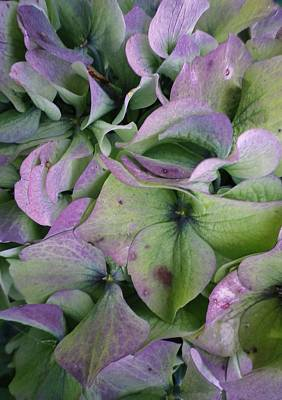 Photograph - Lilac And Green Hydrangea Petals by Richard Brookes
