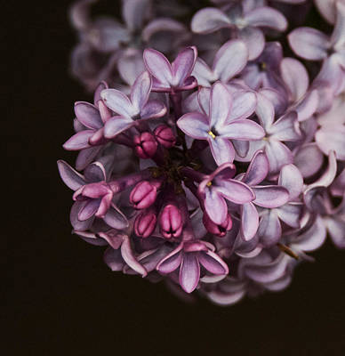 Photograph - Lilac by Angie Vogel