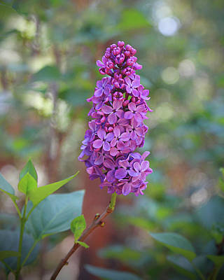 Photograph - Lilac Bloom- Photography By Linda Woods by Linda Woods