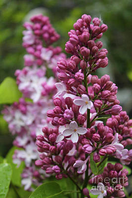 Photograph - Lilac Blooms by Ann E Robson