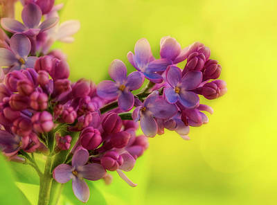 Photograph - Lilac Blooms by Gabriela Neumeier