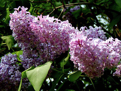 Photograph - Lilac Blooms by Wild Thing