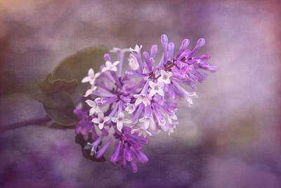Close-up Photograph - Lilac Blossom by Tom Mc Nemar