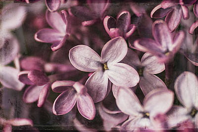 Photograph - Lilac Blossoms by Cindi Ressler