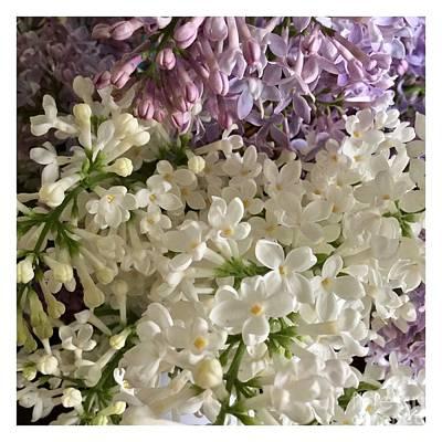 Photograph - Lilac Blossoms by Patricia E Sundik