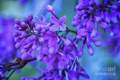 Photograph - Lilac Blues by Elizabeth Dow