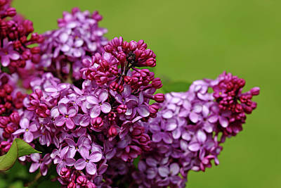 Photograph - Lilac Bouquet by Debbie Oppermann