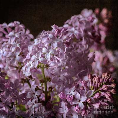 Photograph - Lilac Bouquet IIi by Tamara Becker