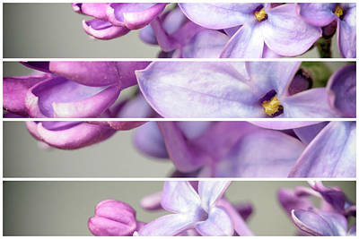 Photograph - Lilac Bouquet Quadtych Two by John Williams