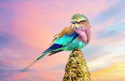 Photograph - Lilac Breasted Roller At Sunset by Brian Tarr