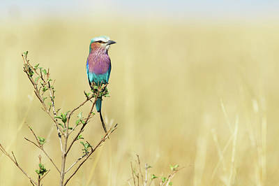 Branch Photograph - Lilac-breasted Roller (coracias Caudata) by Elliott Neep