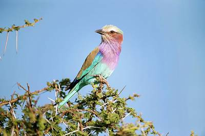 Lilac Roller Photograph - Lilac-breasted Roller In A Thorn Bush by Science Photo Library