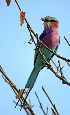 Photograph - Lilac Breasted Roller by Jennifer Wheatley Wolf