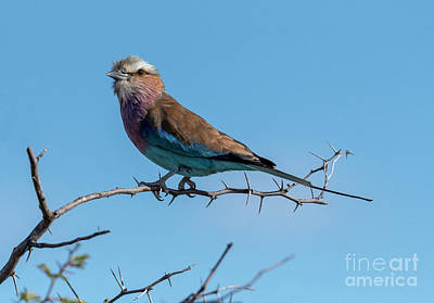 Photograph - Lilac Breasted Roller - Namibia by Sandra Bronstein