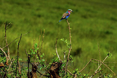 Photograph - Lilac-breasted Roller On Bush by Marilyn Burton