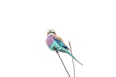 Photograph - Lilac-breasted Roller by Petrus Bester
