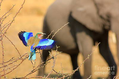 Elephant Photograph - Lilac Breasted Roller by Roger Brown