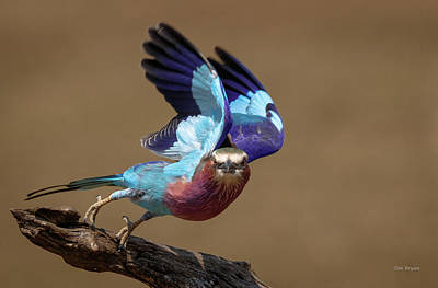 Photograph - Lilac Breasted Roller by Tim Bryan