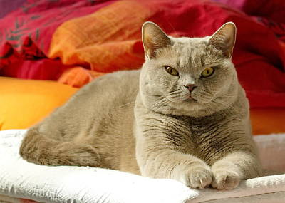 Photograph - Lilac British Shorthair by Elenarts - Elena Duvernay photo