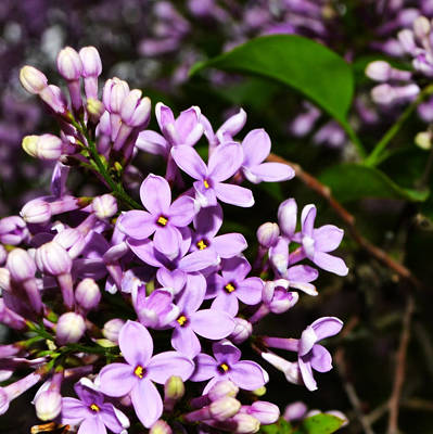 Photograph - Lilac Bush In Spring by Michelle Calkins
