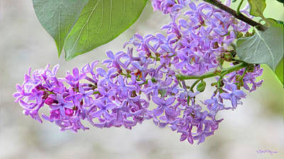 Photograph - Lilac Cluster by Skip Tribby