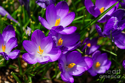 Photograph - Lilac Crocuses by Jennifer White