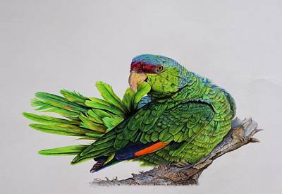 Parakeet Drawing - Lilac Crowned Amazon Parrot by Biophilic Art