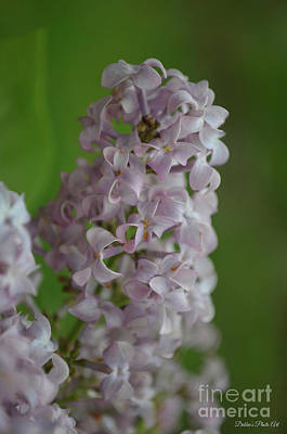 Photograph - Lilac Dreams by Debbie Portwood