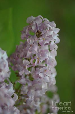 Photograph - Lilac Dreams by Debbie Portwood
