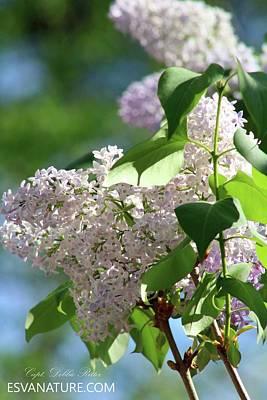 Photograph - Lilac Flower by Captain Debbie Ritter