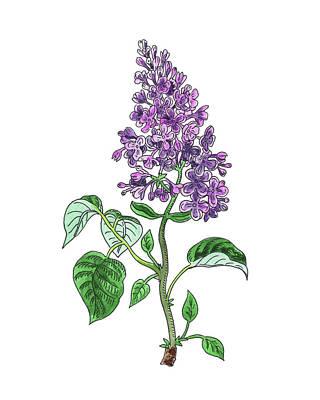 Painting - Lilac Flower Watercolor by Irina Sztukowski