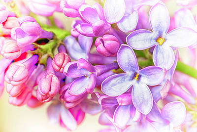 Photograph - Lilac Flowers by John Williams