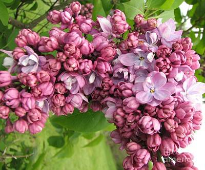 Photograph - Lilac Flowers Macro Highland Park Rochester New York by Rose Santuci-Sofranko
