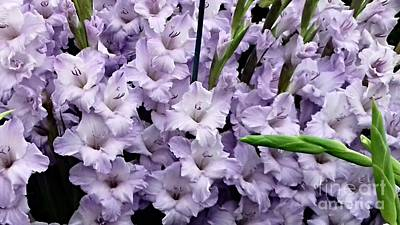 Photograph - Lilac Gladiolas by Joan-Violet Stretch