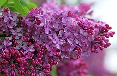 Photograph - Lilac Heaven by Debbie Oppermann