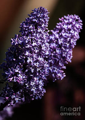 Photograph - Lilac In The Air by Roselynne Broussard