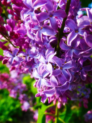 Lilac In The Sun Art Print