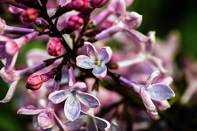 Photograph - Lilac by Jay Stockhaus