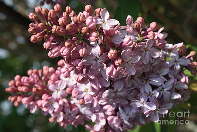 Photograph - Lilac by Mary-Lee Sanders