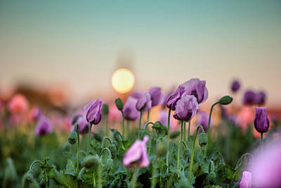 Lilac Photograph - Lilac Poppy Flowers by Nailia Schwarz