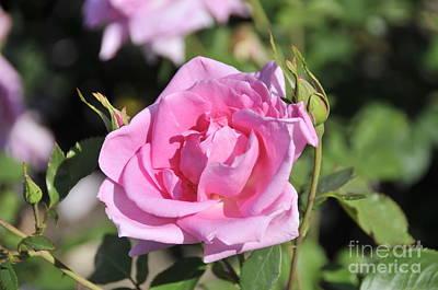 Lilac Rose 2 Art Print by Rudolf Strutz